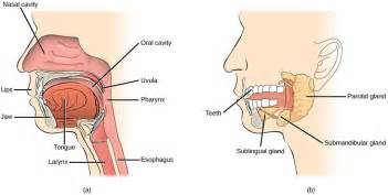 digestion the mouth picture 6