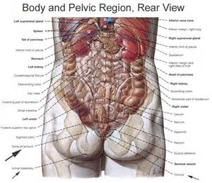 location of liver in human body picture 2