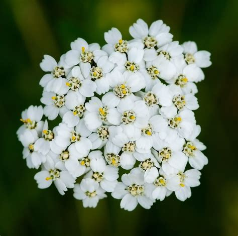 white yarrow flower essence canada picture 11