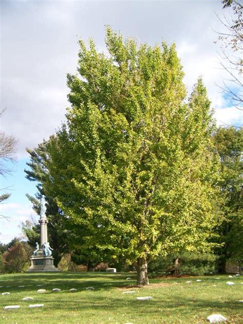 ginkgo biloba tree picture 5