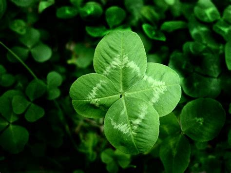 clover picture 4