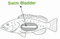 and swim bladder picture 3