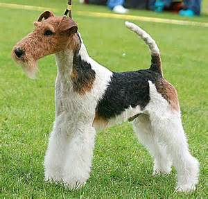 course hair in terrier picture 1