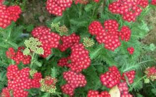 red yarrow picture 5