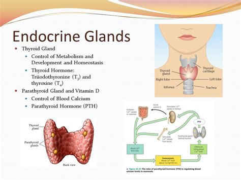 what is the thyroid glands picture 15