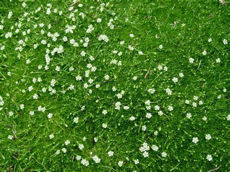 white irish moss picture 1