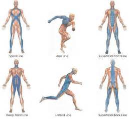 longitudinal muscle definition picture 10