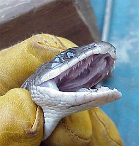 actual pictures of snakes teeth picture 3