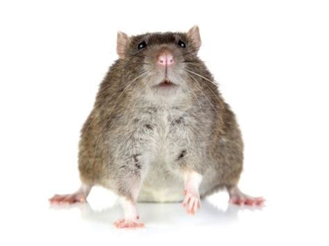 cholesterol studies in rats picture 1