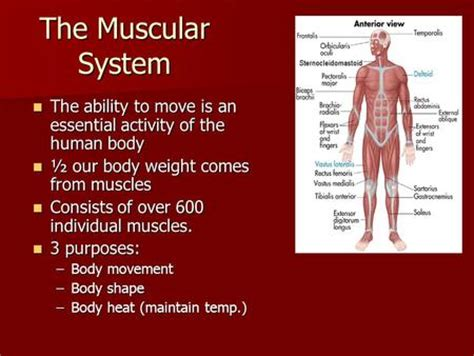 functions oe the muscle system picture 5