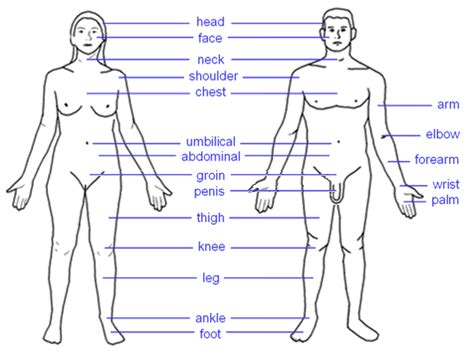 the human body the penis picture 6