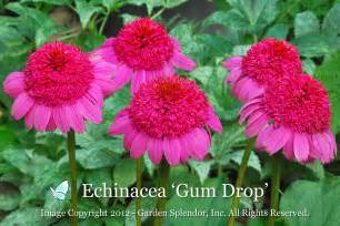 echinacea plants picture 5