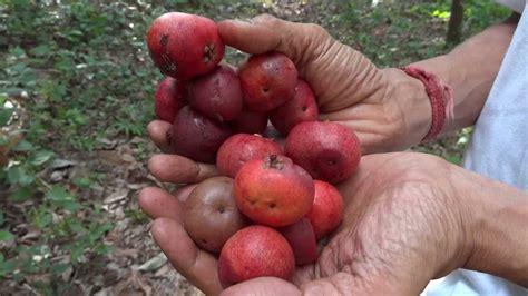garcinia cambogia fruit picture 14