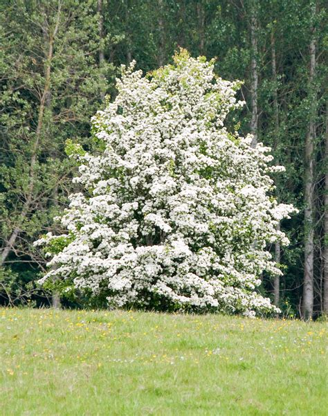 hawthorn plants picture 5
