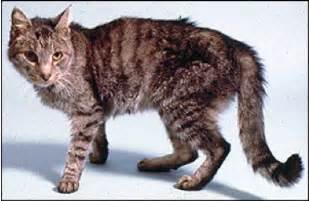 hyperthyroidism in cats picture 1