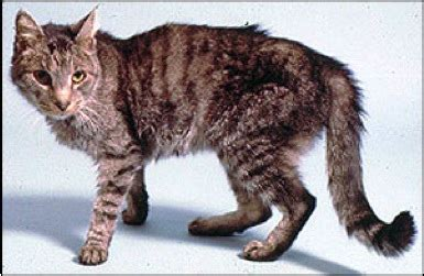 feline hyperthyroid condition picture 15