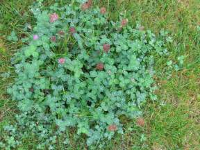 can you take red clover after ovulation picture 6