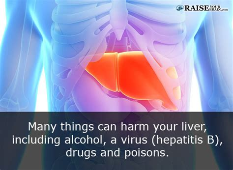 facts about the human liver picture 6