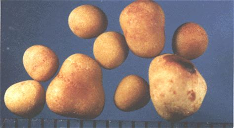 calcium oxalate bladder stones in canines cause picture 11