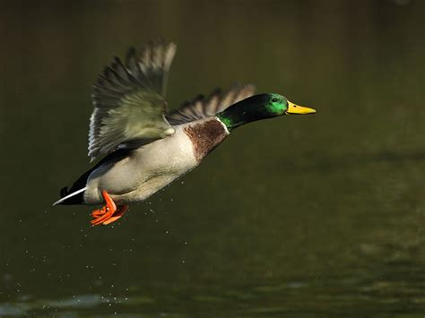 do ducks have h picture 7