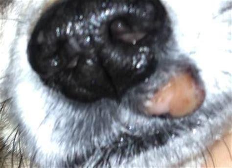 canine lip sores picture 17