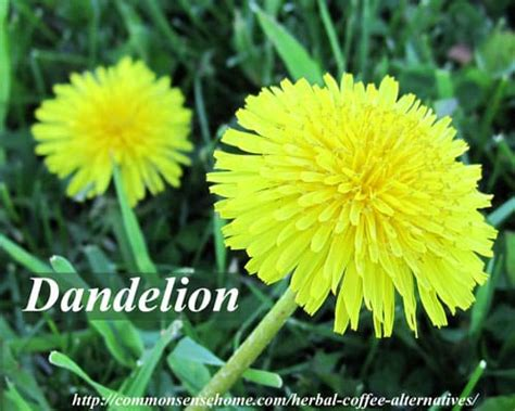dandelion root coffee picture 11