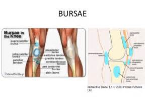anatomy of knee joint picture 14