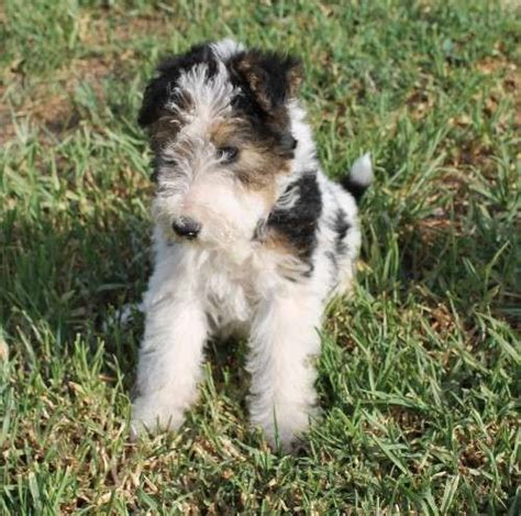 wire hair fox terriers web 9818 picture 3