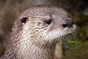 diet baby river otters picture 11