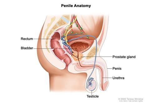 anatomy human penis picture 11