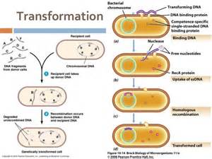 bacterial transformation studies have shown that picture 5
