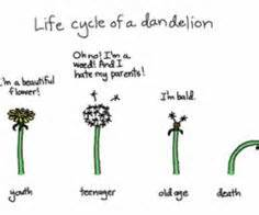 stages of growth of dandelions picture 9