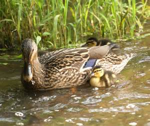 do ducks have h picture 5