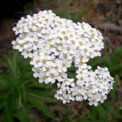 white yarrow picture 11