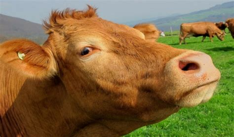 health needs of cows picture 9