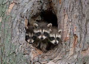 does a racoon sleep in a tree picture 6