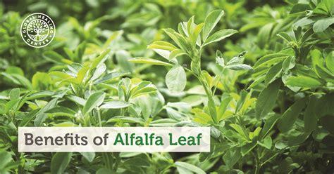 alfalfa leaf health benefit's picture 3
