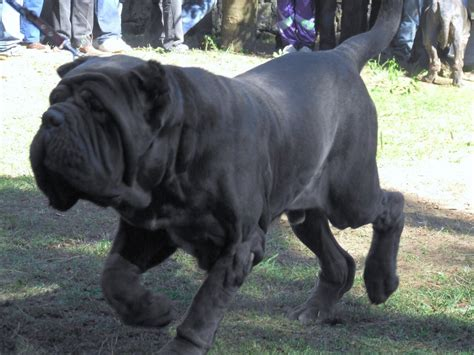 wrinkles on a rottweiler picture 5