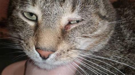 feline chin acne picture 17