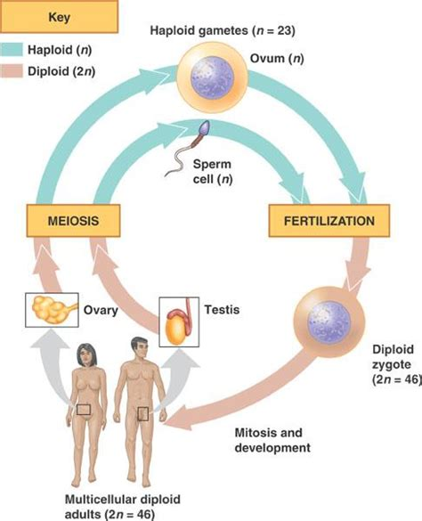 cell skin reproduction picture 1