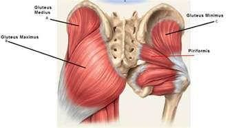 glutamus muscle picture 1