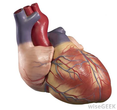 heart muscle picture 2
