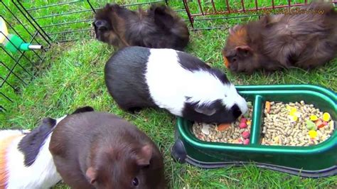 cavy diet picture 10