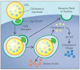 amino acids and ldl cholesterol picture 13