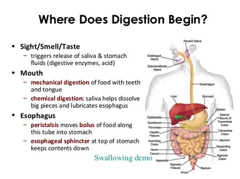 where does digestion of carbohydrates begin picture 1
