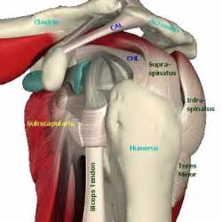 loose shoulder muscle anatomy picture 17
