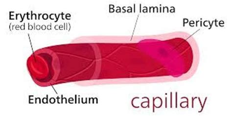 facts about capillaries picture 10