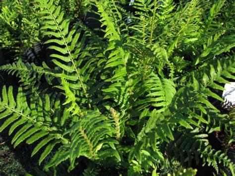 licorice fern picture 10