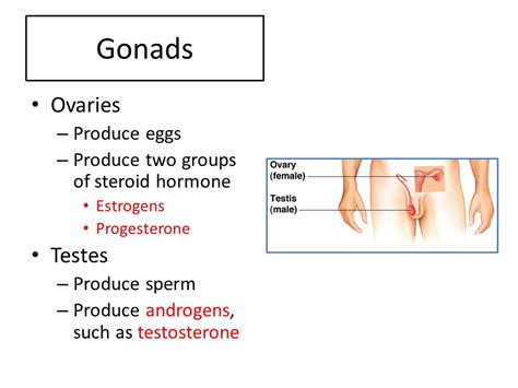 testosterone produced in ovaries picture 7