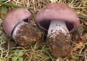 identifying fungi mushrooms wild picture 10